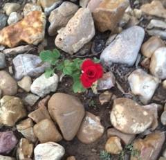 Pruned Rose