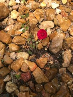 Rocky Rose